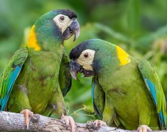 Yellow Collared Macaw