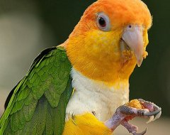 Yellow Thighed Caique